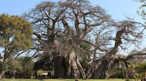 Big-Baobab-Tree-Pub1